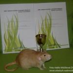 Nejlepší potkan variety dumbo - Yežibaba z Mouseville